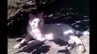 Кот Лев!