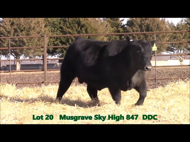 Musgrave Angus Lot 20