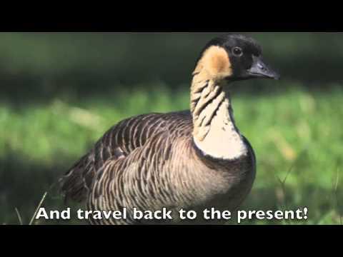The Nene Goose