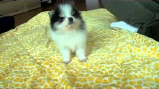 Teacup Tri Color Pomeranian Puppy For Sale