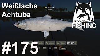 Weißlachs am Fluss Achtuba 🎣 🐋 | Russian Fishing 4 #175 | Deutsch | UwF