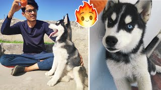 Husky Puppy Training 1st Day  ||  Sit and Food permission || Dog Food? || Review reloaded ||