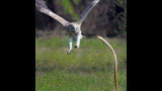 印象!野生動物実戦のマングース対メガネキングヘビ、コモド、ワシ、ヘ...
