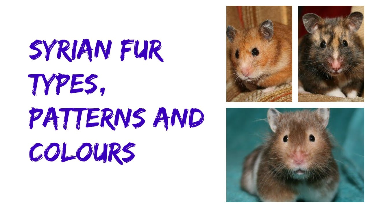 Syrian Fur Types, Patterns and Colours!