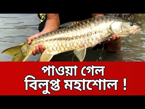বাংলাদেশে অন্য রকম মাছ মহাশোল নিয়ে গবেষণা | Mohashol Fish | Mytv News