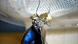 Lifecycle movie - malayan eggfly