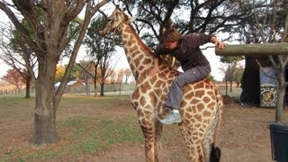 Giraffe Escapes and Gets Loose in a Restaurant