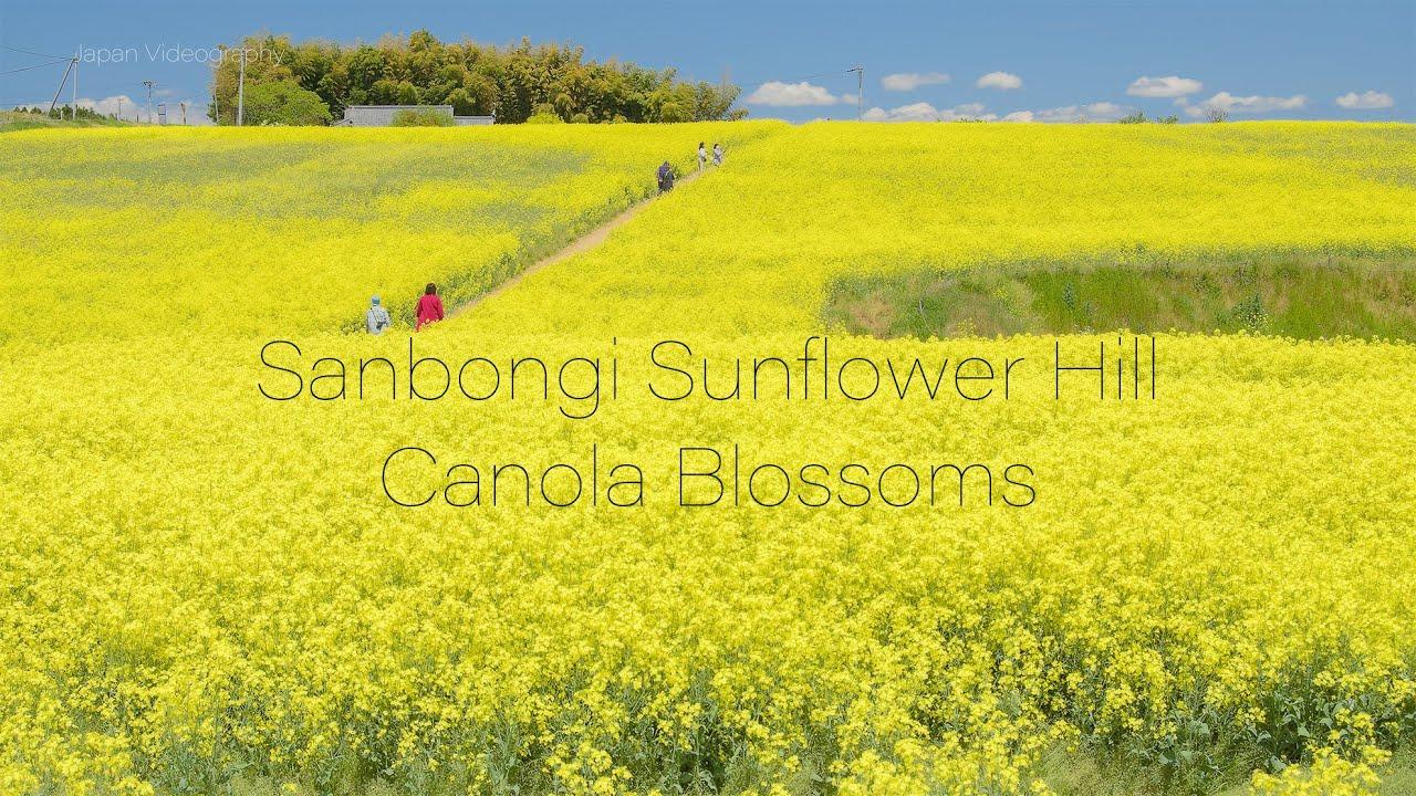 Scenery of Canola Flowers Field like a yellow carpet in Miyagi Japan 大崎市三本木ひまわりの丘で咲く菜の花