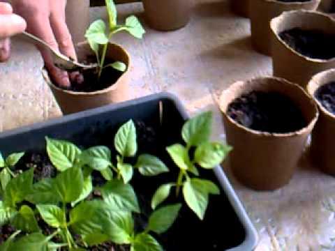 Выращивание рассады: календарь рассады, пикировка рассады