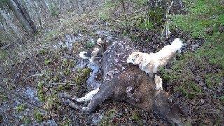 Охота #168 добыли лося