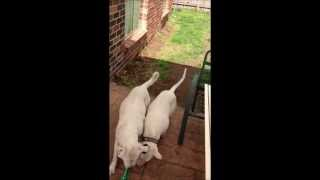 Bull Terrier & American Bull Dog Cross, Fight Over A Bone. Must See!!