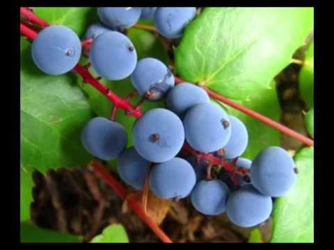 Oregon Grape Health Benefits