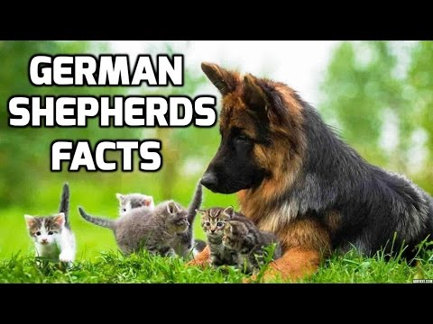 Top 10 Facts about German Shepherds