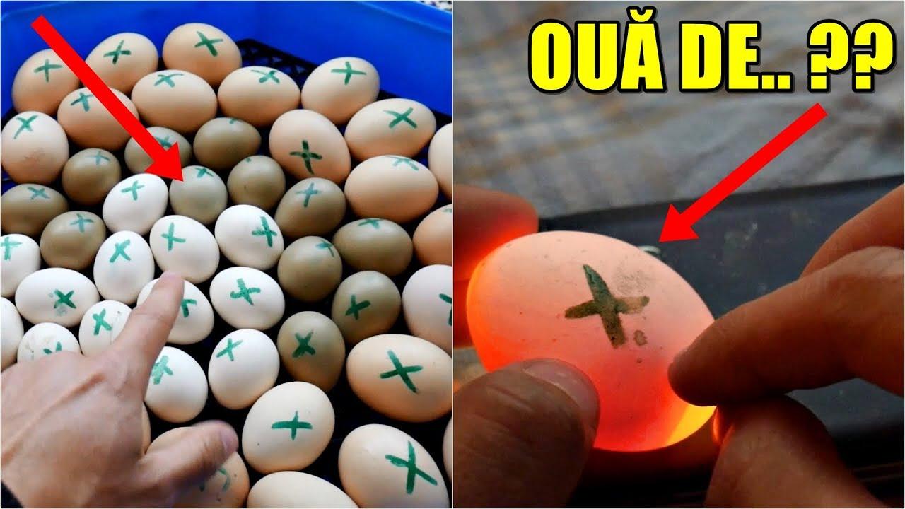 Viermi mărimea oului - Ce mărime sunt ouăle de pasăre? - Uleiul