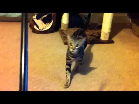 Ruby - Bengal Cat Walking Backwards Like A Boss
