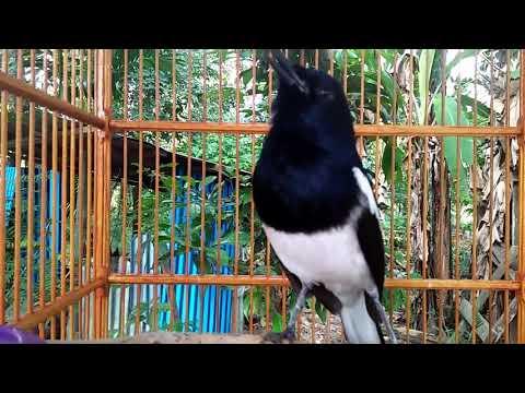 Suara Kacer Kalimantan, Bikin Kacer Lain Emosi.