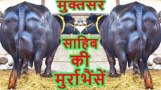 मुक्तसर साहिब की मुर्रा भैंसें I Murrah Buffalo For Sale from Sri Muktsar Sahib at Kurali Mandi