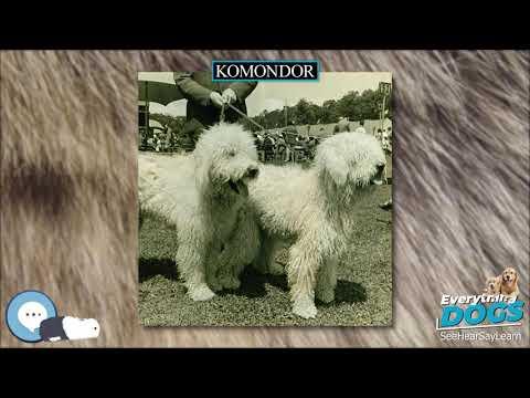 Komondor  Everything Dog Breeds