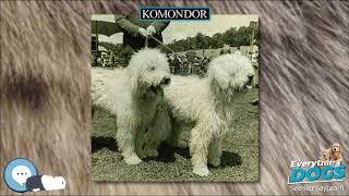 Komondor  Everything Dog Breeds