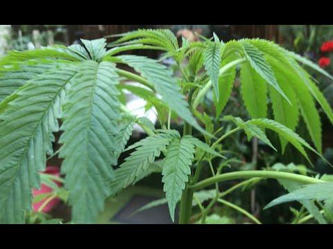 Как вырастить каннабис из семени, Аут. День 1 - 99. Дело было в Амстердаме ))