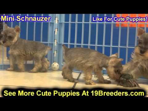 Miniature Schnauzer, Puppies, For, Sale, In,Omaha ,Nebraska, NE,Lincoln, Bellevue, Grand Island