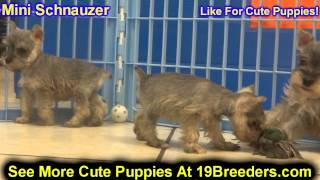 Miniature Schnauzer, Puppies, For, Sale, In,omaha ,nebraska, Ne,lincoln, Bellevue, Grand Island