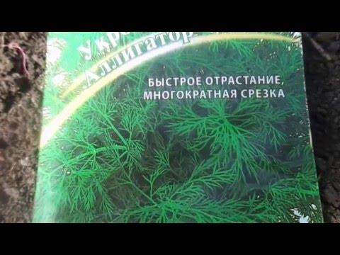 Сеем укроп  Мои секреты выращивания укропа  Свежая зелень с мая по октябрь   выращивания   отрастает   кустовой   выбираем   секреты   октябрь   который   укропа   свежая   зелень