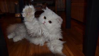 Эксклюзив! Стрижка персидского кота от начала и до конца.