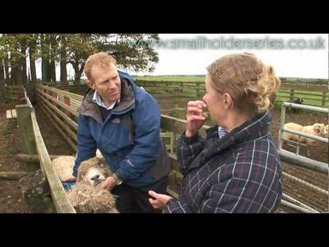 Sheep Drenching (worming) With Adam Henson