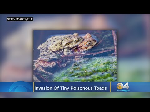 Nathalie Rodriguez - Toxic Toads Are Spreading Across South Florida