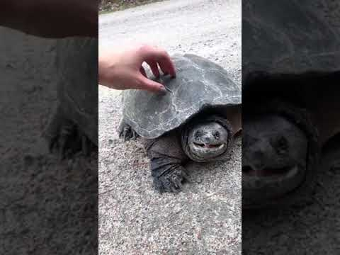 Scott Miller Live - This Tortoise Is Not A Fan Of Being Filmed. CHOMP!
