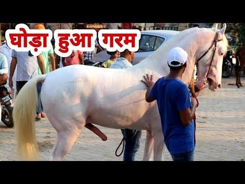 Best Nukra Stallion Anchor Shows Attitude in horse mandi