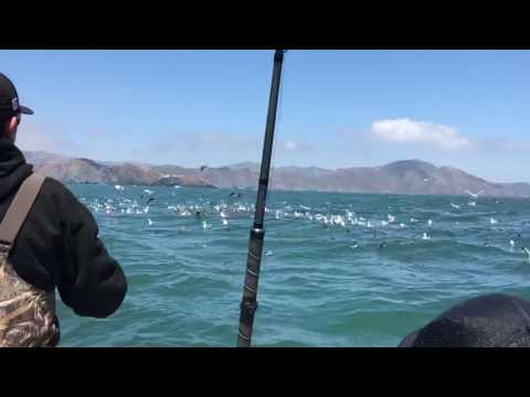 Scooping On A Huge Bait Ball Outside The Golden Gate