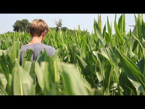 Semence maïs - Castration manuelle et mécanique