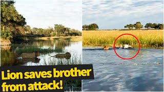 Lion saves his brother from terrifying crocodile attack