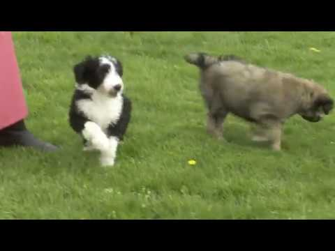Willis Millers Lassie Colliestandard Poodle Mix Pups Youtube