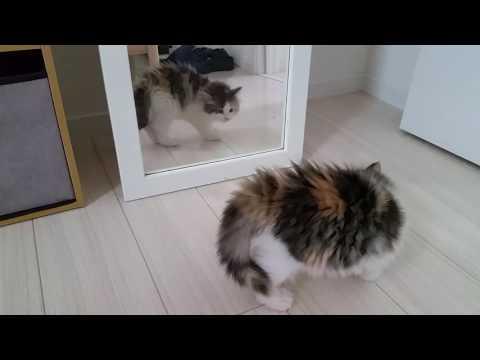 子猫 初めて鏡をみてびっくり威嚇