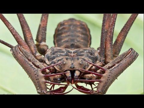 ВЕРСУС!  На что способен Фрин и Телифон, два жутких паукообразных!