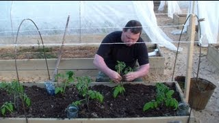 Когда и как высаживать томаты в открытый грунт(Подробная информация в статье: http://svoitomaty.ru/kogda-i-kak-vysazhivat-tomaty-v-otkrytyj-grunt-v-podmoskove/ Когда и как высаживать томаты..., 2013-05-21T07:23:34.000Z)