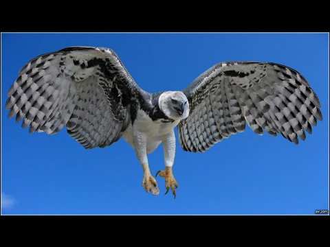 The Most Powerful Birds : Harpy Eagles National Geographic Animals Documentary