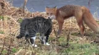 Битва Кота против Лисы - кто победит? Битвы животных!