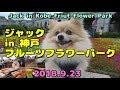 もふもふポメラニア in 神戸フルーツフラワーパーク fluffy pomeranian in Kobe Fruit Flower Park
