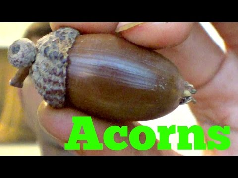 Acorn Review (+candied acorn recipe) - Weird Fruit Explorer Ep.  125