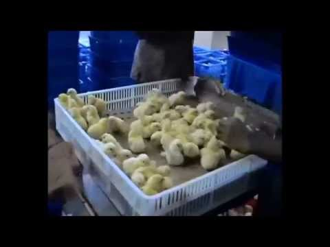 cruelty-behind-eggs-&-chicken-meat-[india]