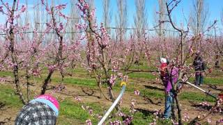 Automated Ag Bloom Thinning Peaches
