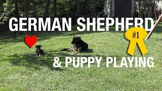 German Shepherd and Puppy Playing [4K Video]