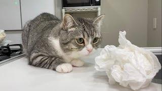 キッチンに現れたゴキブリをパンチ2発でKOした猫がこちらです…