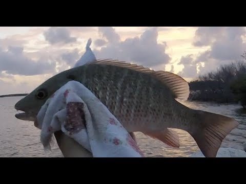 Catching A Limit Of Mangrove Snappers From The Shore, In The Florida Keys