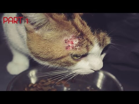 skin-problems-in-cats---how-to-diagnose-and-treat-bacterial-skin-infections-in-cats-|-skin-issues-|