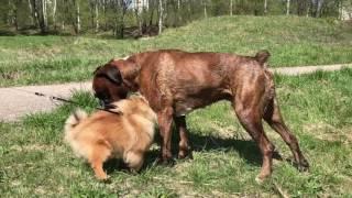 Собака боксёр и шпиц